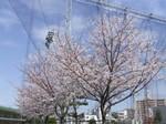大森グランドの桜